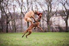 Vizsla e frisbee da sagacidade do laboratório da raposa Imagens de Stock Royalty Free