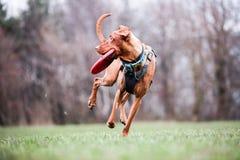 Vizsla e seu frisbee Imagem de Stock Royalty Free