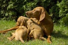 Vizsla Familie auf dem Rasen Stockfotos