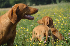 Vizsla Family Royalty Free Stock Image