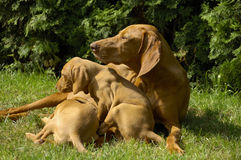 Vizsla Family On The Lawn Stock Photos