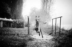 Vizsla flying. Hungarian pointer vizsla flying on the path Stock Photo