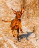 Vizsla fonctionnant Photo stock