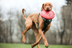 Vizsla with his frisbee royalty free stock photos