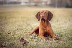 Vizsla-Hund, der auf dem Gras liegt lizenzfreie stockfotografie