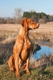 Vizsla Hund, der auf einem Gebiet sitzt Stockbild
