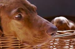 Vizsla Hund im Weidenkorb Lizenzfreies Stockbild