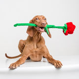 Vizsla hund med den röda rosen Arkivfoton