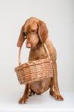 Vizsla hund med korgen Arkivfoton