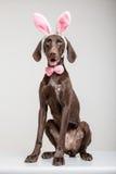 Vizsla hund som den easter kaninen Arkivbild