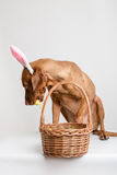 Vizsla hund som den easter kaninen Royaltyfri Bild