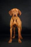 Vizsla hundanseende på den svarta bakgrunden royaltyfri fotografi