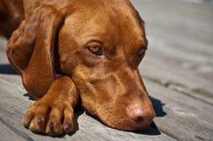 Vizsla Hundenahaufnahme Stockfotografie