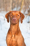 Vizsla Hundeportrait im Winter. Stockfoto