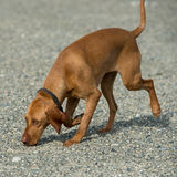 Vizsla Royalty Free Stock Photo