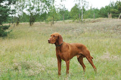 Vizsla / Hungarian Vizsla dog Royalty Free Stock Image