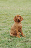 Vizsla / Hungarian Vizsla dog puppy Royalty Free Stock Photo