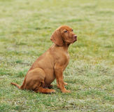 Vizsla / Hungarian Vizsla dog puppy Royalty Free Stock Photos