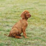 Vizsla / Hungarian Vizsla dog puppy Royalty Free Stock Photos