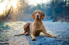 Vizsla. Laying Hungarian vizsla with backlight Royalty Free Stock Photos