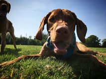Vizsla. Panting Vizsla in the sunshine, set against grass and a blue sky this panting dog is waiting for yet another ball throw with his companion the fox red royalty free stock photography