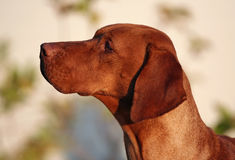 Vizsla portrait Royalty Free Stock Images