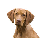 Vizsla portrait Stock Photo