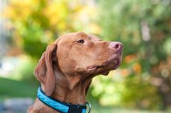 Vizsla Portrait in Autumn Royalty Free Stock Photos
