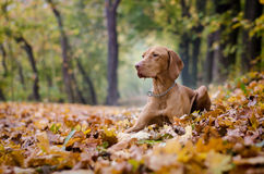 Vizsla. Portrait in autumn time Royalty Free Stock Images