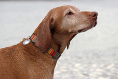 Vizsla Royalty Free Stock Image