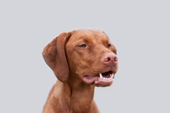 Vizsla Portrait with Shallow Depth of Field Stock Photography