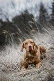 Vizsla. Puppy dog in grass in autumn Royalty Free Stock Photos