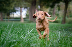 Vizsla puppy dog run. Two months old hungarian pointer vizsla run over grass Royalty Free Stock Photography