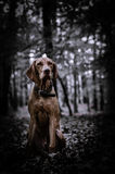 Vizsla puppy in the forrest. Hungarian pointer vizsla sitting in the middle of the foerres Royalty Free Stock Photo