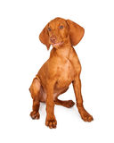 Vizsla Puppy Funny Expression Royalty Free Stock Image
