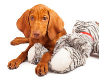 Vizsla Puppy Laying on Stuffed Toy Stock Photos