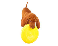 Vizsla Puppy Playing With Frisbee Stock Image