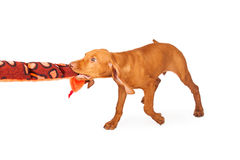 Vizsla Puppy Plays With Plush Toy. A playful and active young Vizsla breed puppy playing with a snake stuffed animal toy Stock Image
