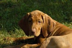 Vizsla Puppy Posing Stock Image