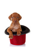 Vizsla puppy in a red show hat Royalty Free Stock Image