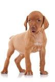 Vizsla puppy standing Stock Photography