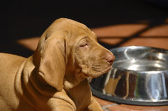 Vizsla Puppy And Water Bowl Royalty Free Stock Image