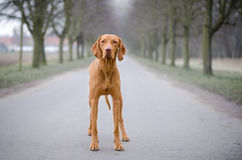 Vizsla. Staing in the middle of the road in winter Royalty Free Stock Photo