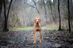Vizsla. Staying hungarian pointer in the middle of the path stock image