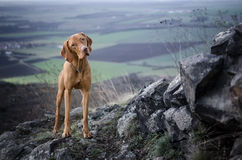 Vizsla. Staying hungarian pointer on the top of the mountine Stock Photos