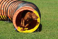 Vizsla Tunnel Stockbilder