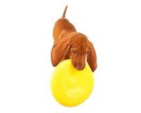 Vizsla-Welpe, der mit Frisbee spielt Stockbild