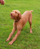 Vizsla Wirehaired Hungarian dog. A Male Vizsla Wirehaired Hungarian dog breed just under one year old waiting for a ball to be thrown Royalty Free Stock Photography