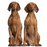 Vizslas, 5 and 2 years old, sitting Royalty Free Stock Photography