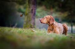Vizslas. Dog head in the autumn leaves Stock Images